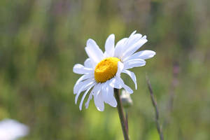 One Daisy by Lissou-photography