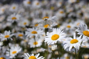 Field of Daisies-1 by Lissou-photography
