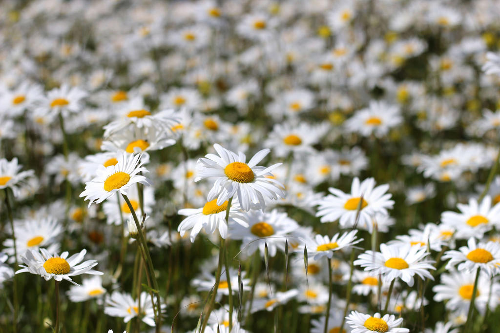 Field of Daisies-2 by Lissou-photography