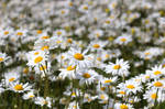 Field of Daisies-2
