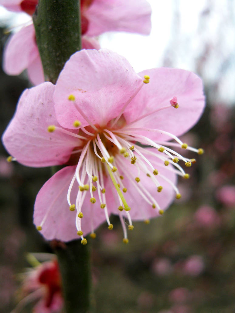 Pink Plume Flower