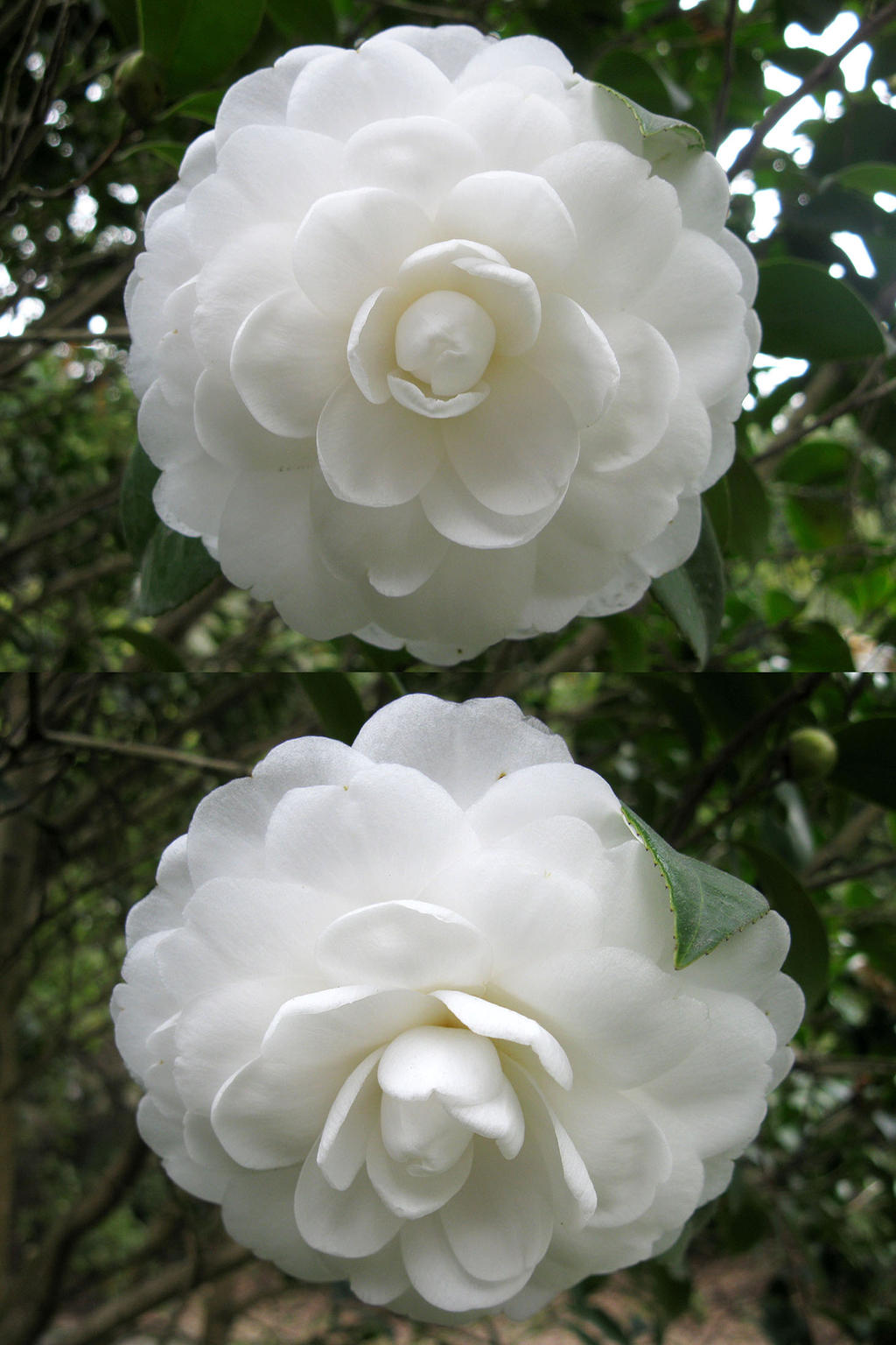 White Camellia Japonica By Lissou Photography On Deviantart
