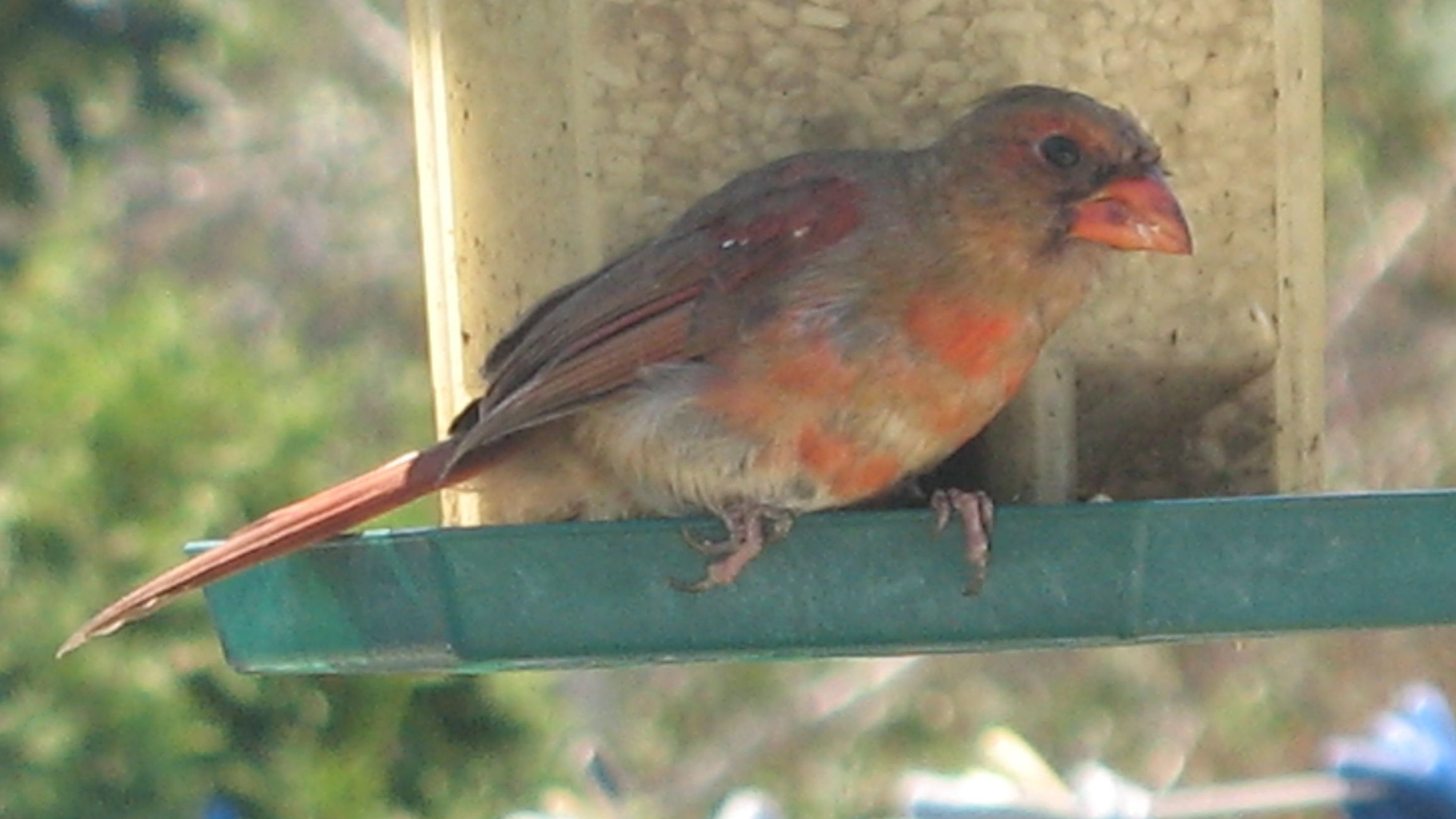 Northern Cardinal - Young male by avator