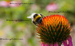 Bee on coloroud pointy flower 1