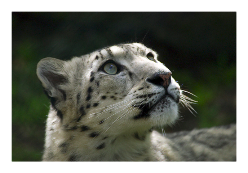Snow Leopard by Cameron-Jung