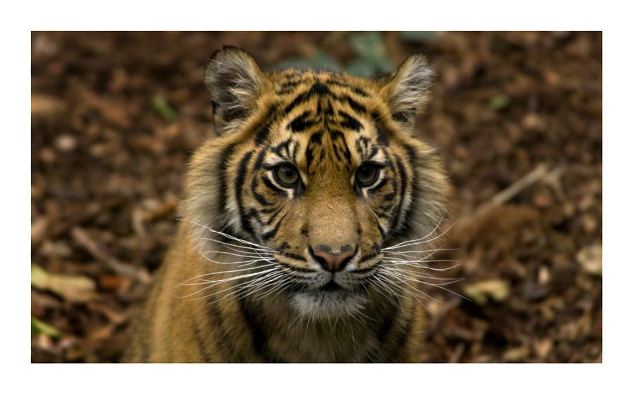 Sumatran Tiger by Cameron-Jung