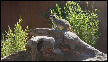 Meerkat 1