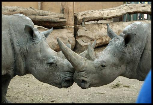 Rhino Kiss
