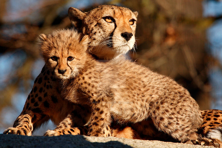 Cheetah 2 by swissnature