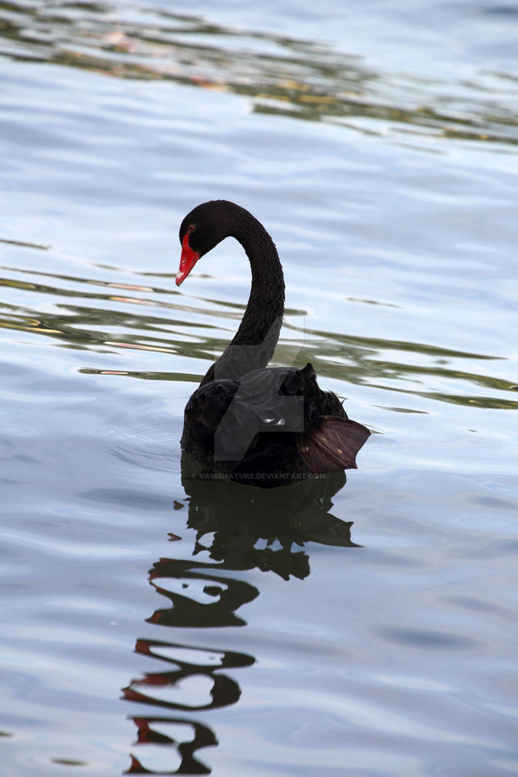 Black Swan 003 by swissnature