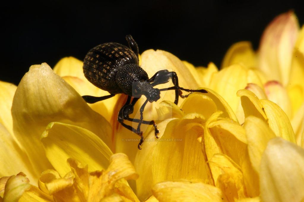 Black Vine Weevil-004 by swissnature