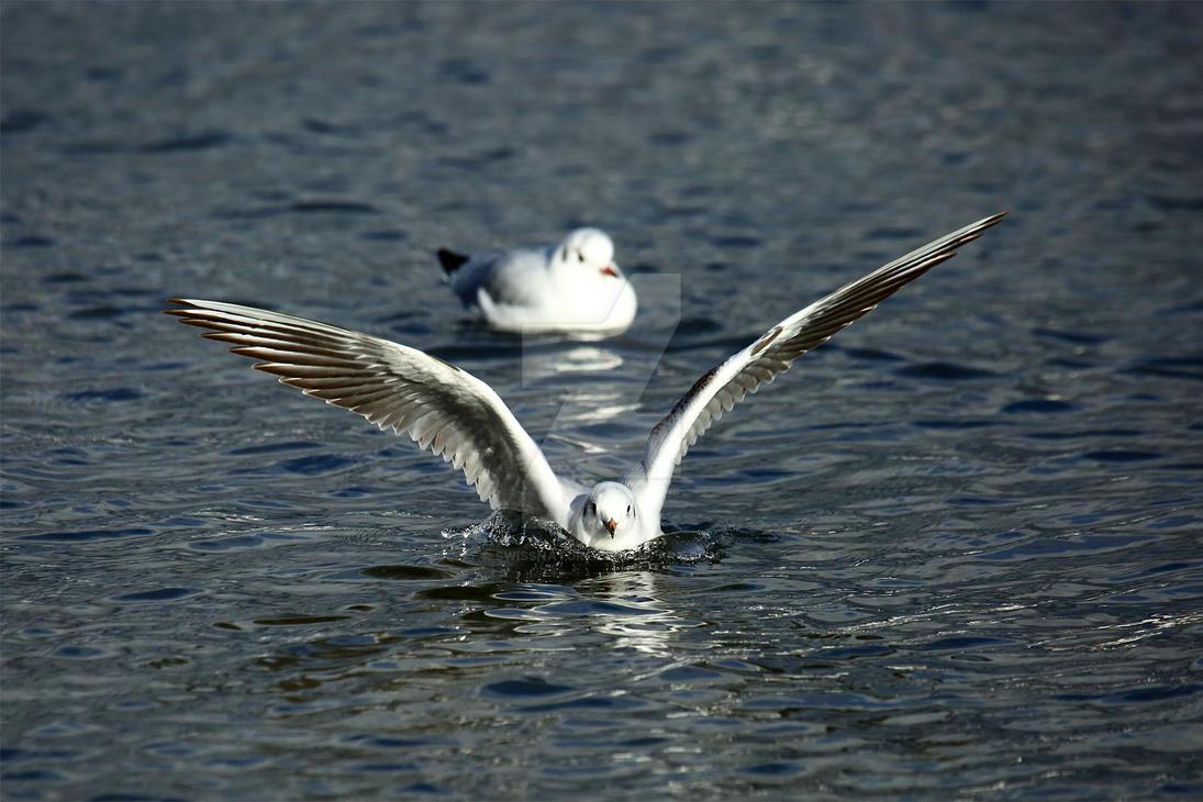 Seagulls 081 by swissnature