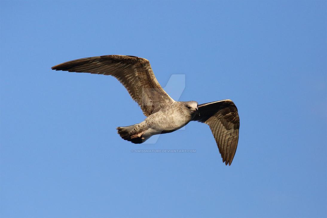 Yellow-legged gull 004 by swissnature