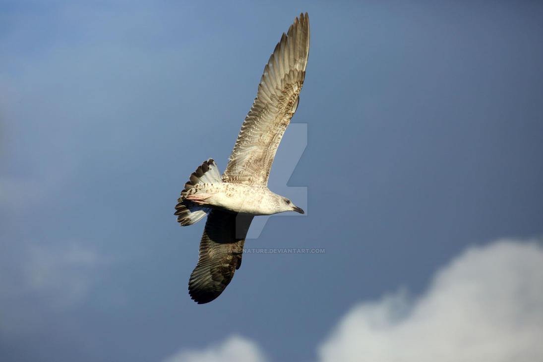 Yellow-legged gull 006 by swissnature