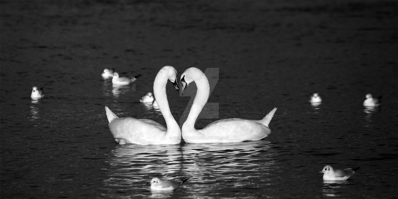 Mute Swan-093 by swissnature