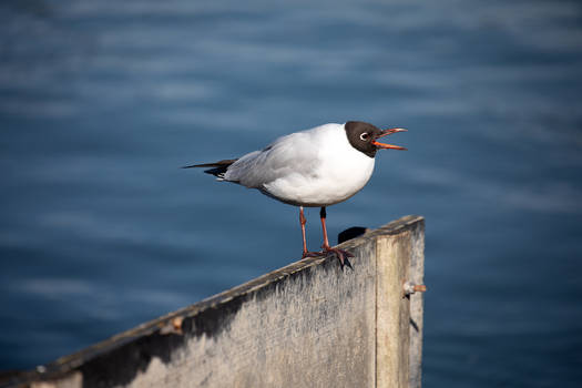 Sea-gulls 22-02-2020 002