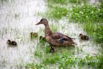 Mallard Ducks 13-07-2021 011