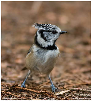 The Crested Tit 3