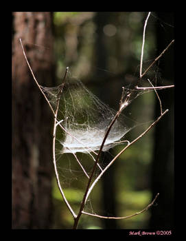 Web in the Redwoods