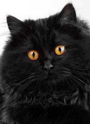 Cute black persian cat