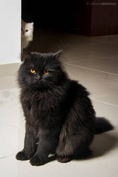 Black and white Persian cats