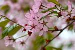 Cherry blossom skies by Jaraid