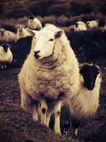 Sheep by VintageFan