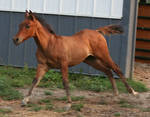 102 : Foal Canter