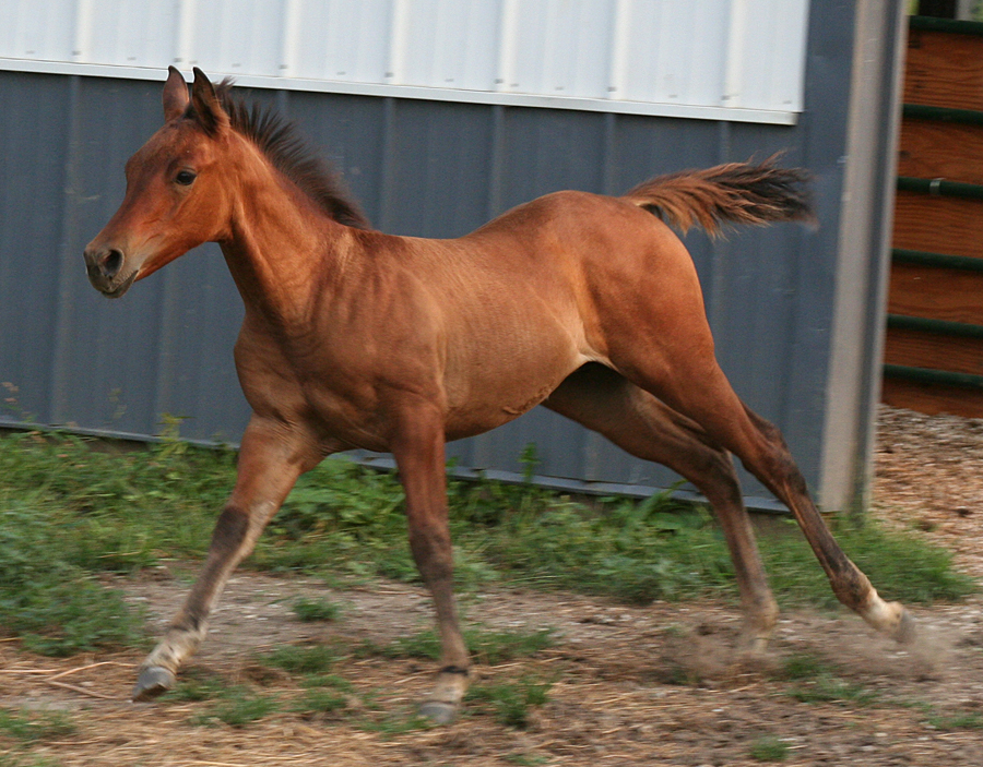 102 : Foal Canter by Nylak-Stock