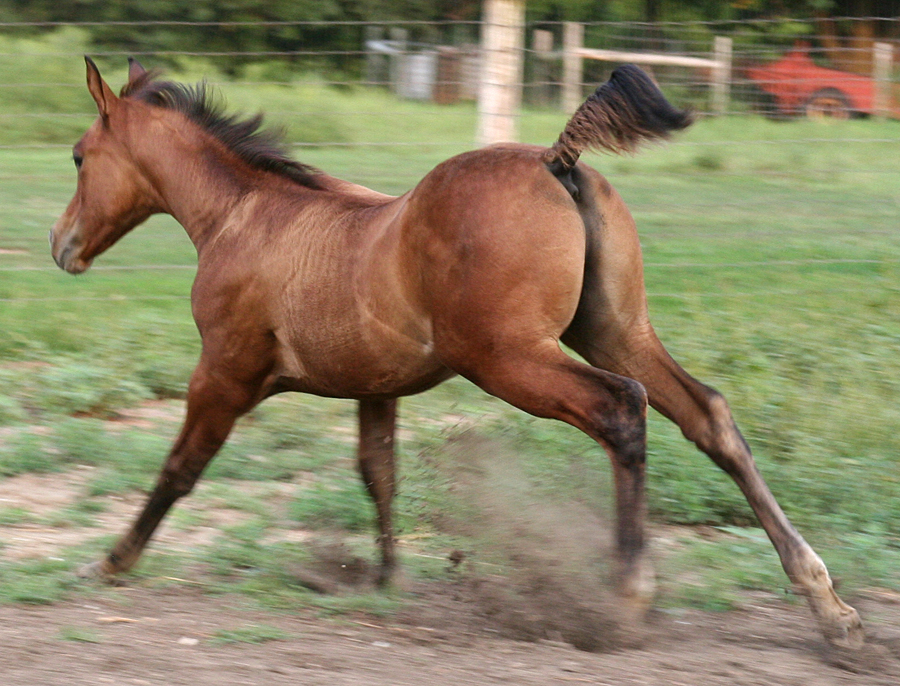 107 : Foal Gallop Angle by Nylak-Stock