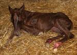 124 : Newborn Foal Lying Down