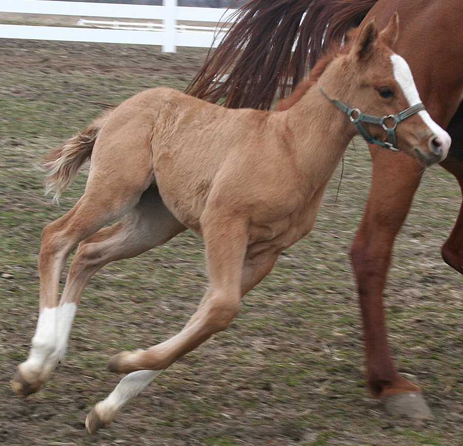 127 : Foal Gallop by Nylak-Stock