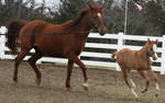 128 : Mother and Foal Running