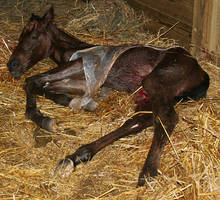 129 : Newborn Foal in Placenta by Nylak-Stock