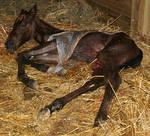 129 : Newborn Foal in Placenta
