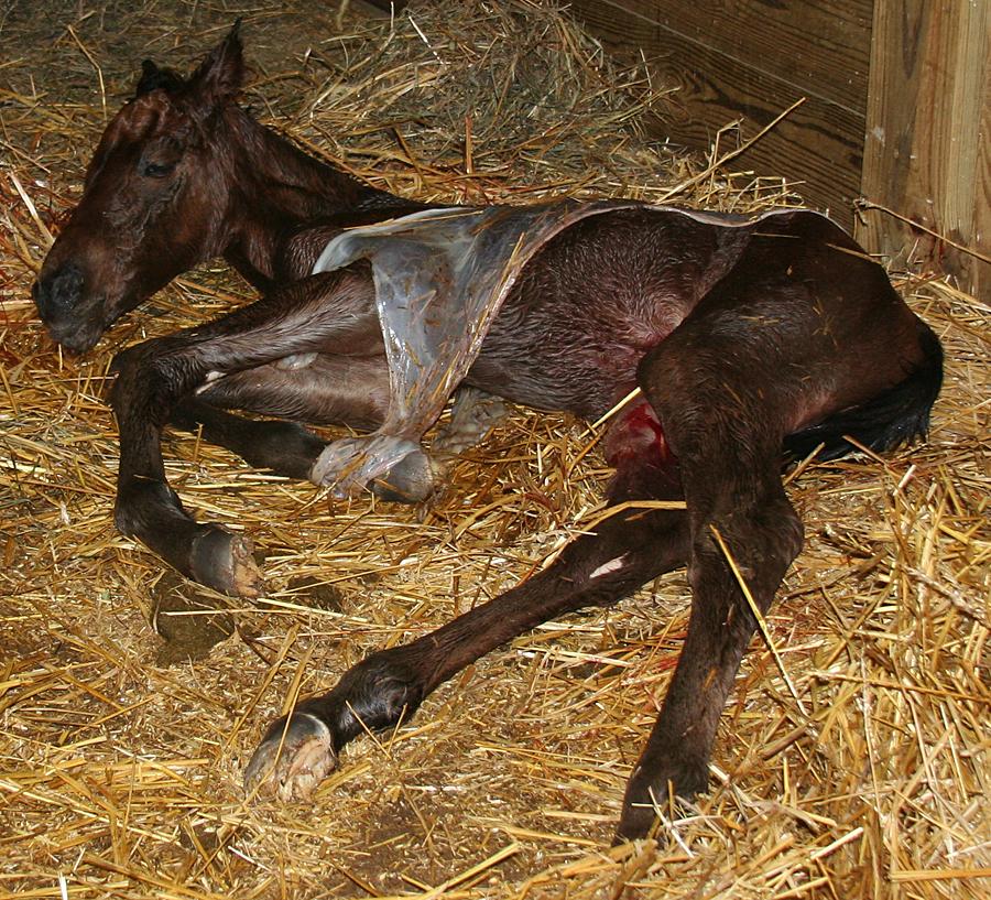 129 : Newborn Foal in Placenta by Nylak-Stock