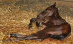 130 : Newborn Foal Lying Down