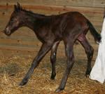 131 : Newborn Foal Standing