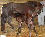 132 : Newborn Foal Nursing