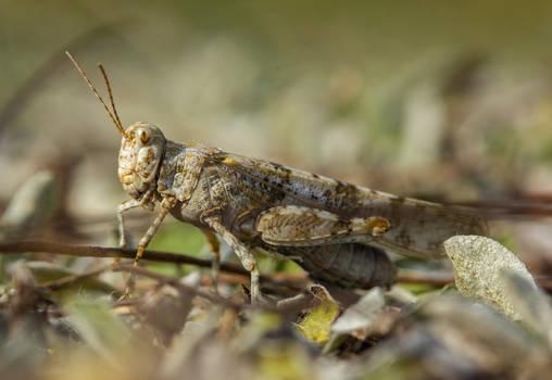 Sphingonotus caerulans II