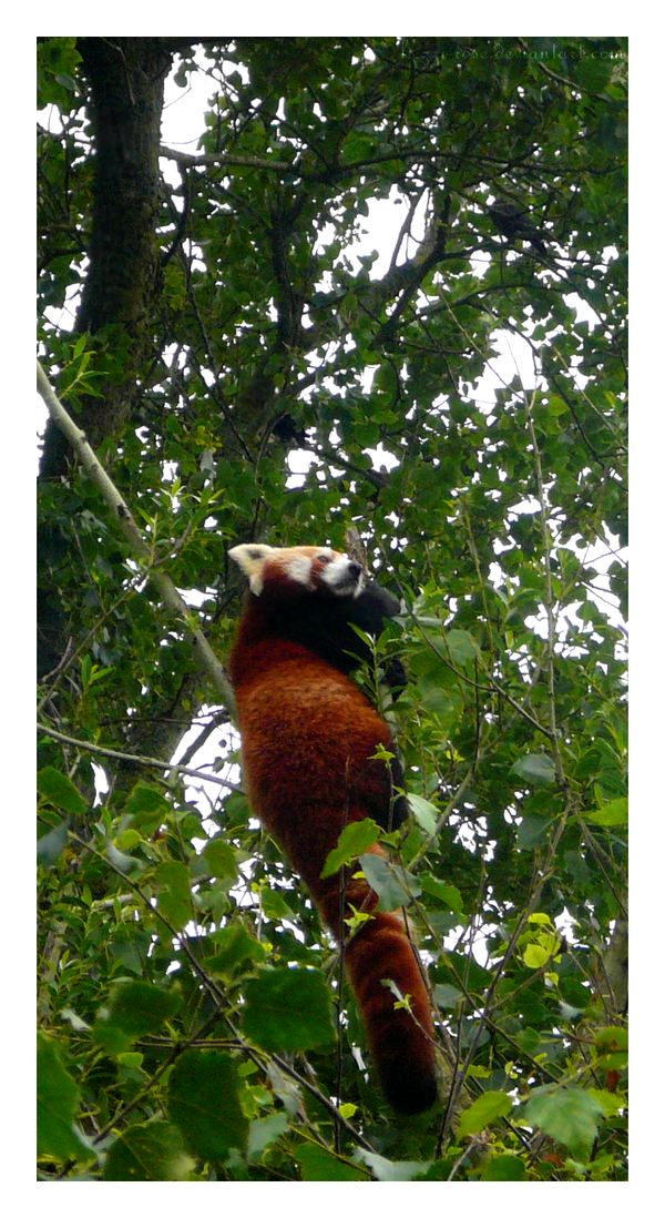 Pandamonium by Kezzi-Rose