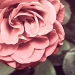 Blushing Rose by Kezzi-Rose