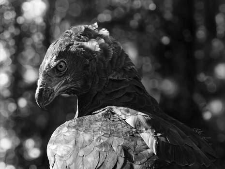 Digital Drawing of a Martial Eagle