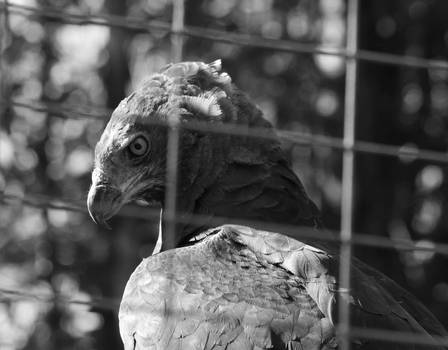 The original photo of the martial eagle