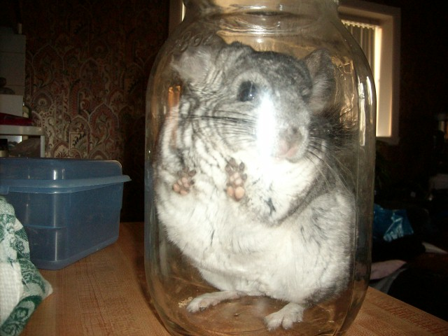 Chinchilla in a jar by tsunade136