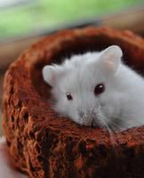 Hamster 2 by HoneyKyouya