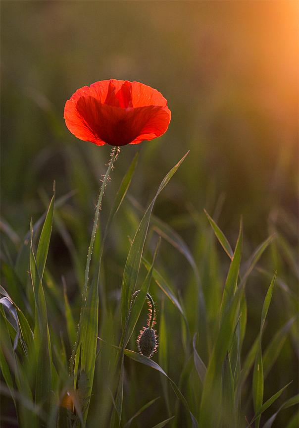 Poppy flower before sunset by ellenai86 on deviantart poppy flower before sunset by ellenai86 mightylinksfo Choice Image