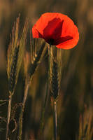 Poppy flower before sunset II by ellenai86