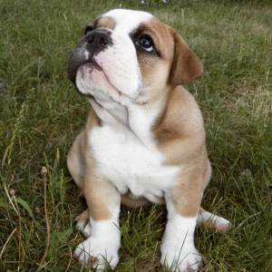 NobleBulldogges's Profile Picture