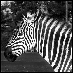 My striped neighbor by salviphoto